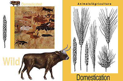 Agricultural Revolution - Domestication